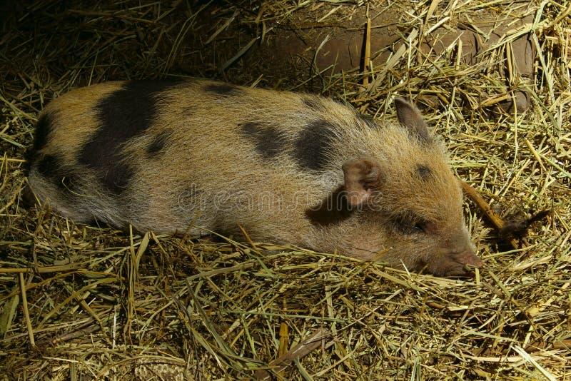 Близкая поднимающая вверх съемка свиньи спать стоковое фото rf