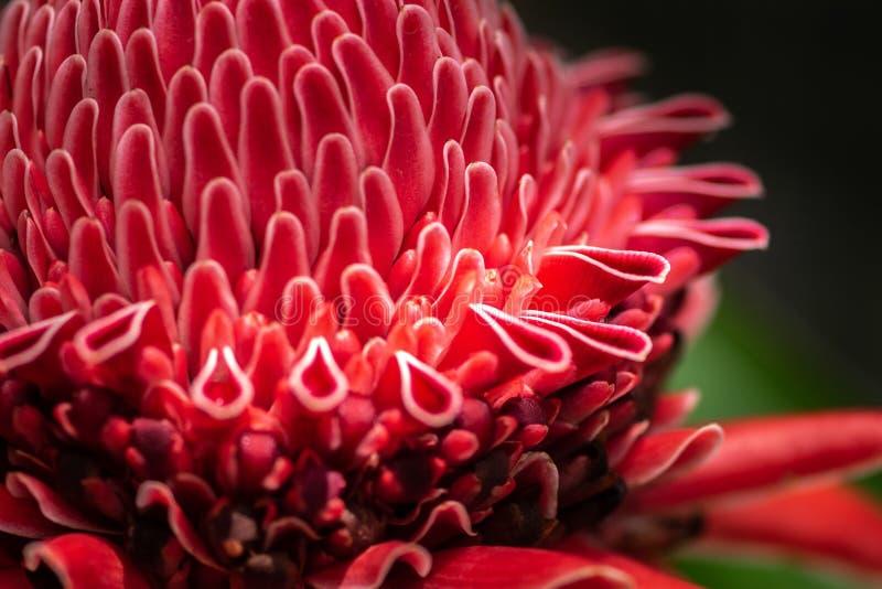 Близкая поднимающая вверх съемка цветка имбиря факела цветения экзотического красного, elatior Etlingera стоковое фото