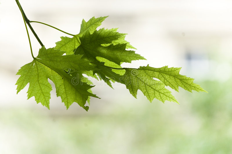 близкая хворостина клена листьев вверх стоковая фотография rf