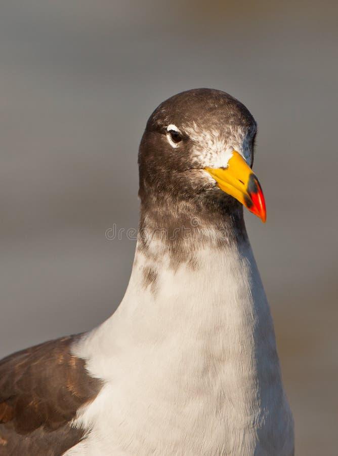 близкая чайка s franklin вверх стоковые изображения
