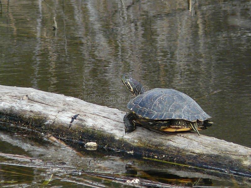 близкая eared черепаха слайдера журнала вверх по желтому цвету стоковые фото