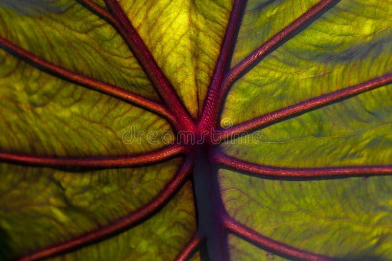 близкие листья слона уха вверх стоковая фотография rf