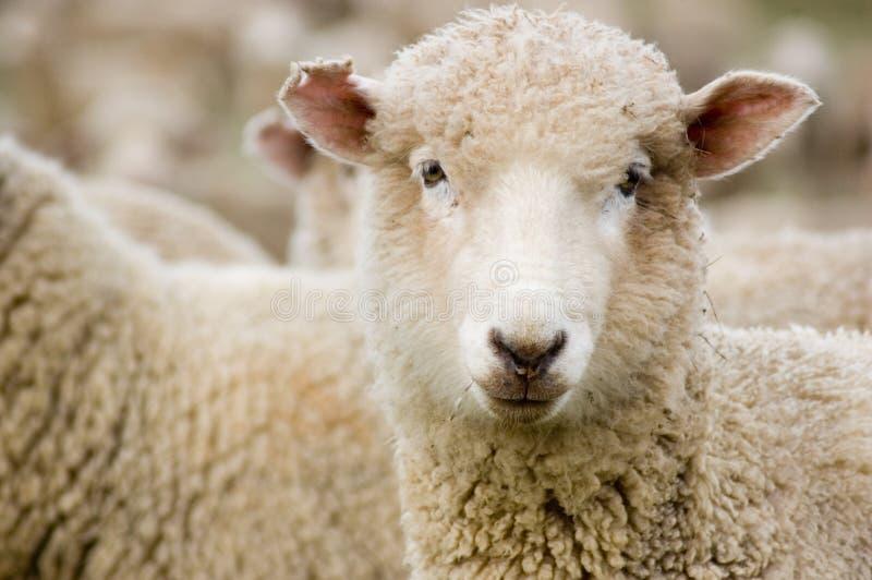 близкие овцы merino вверх стоковая фотография