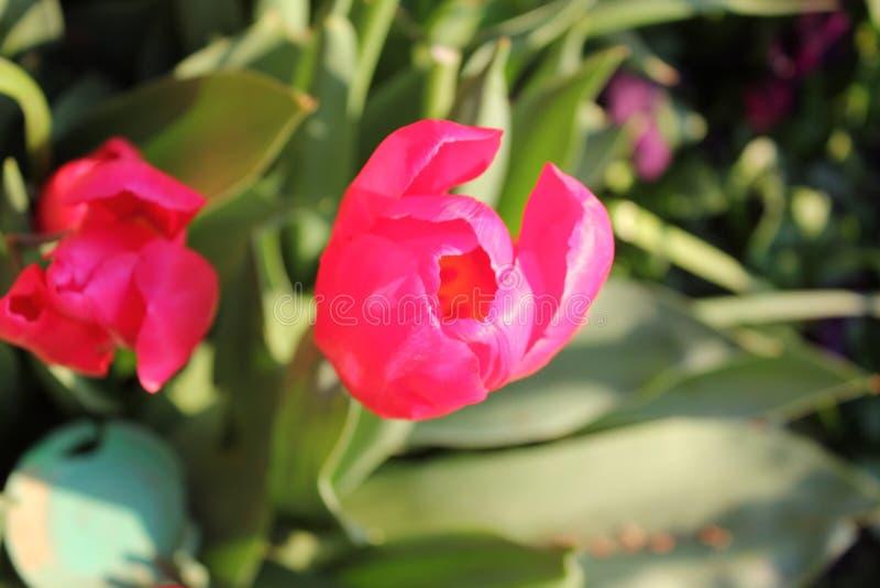 близкие розовые тюльпаны вверх стоковые фото