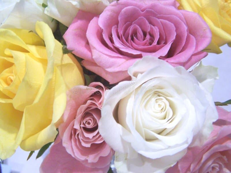 близкие розы вверх стоковые фото