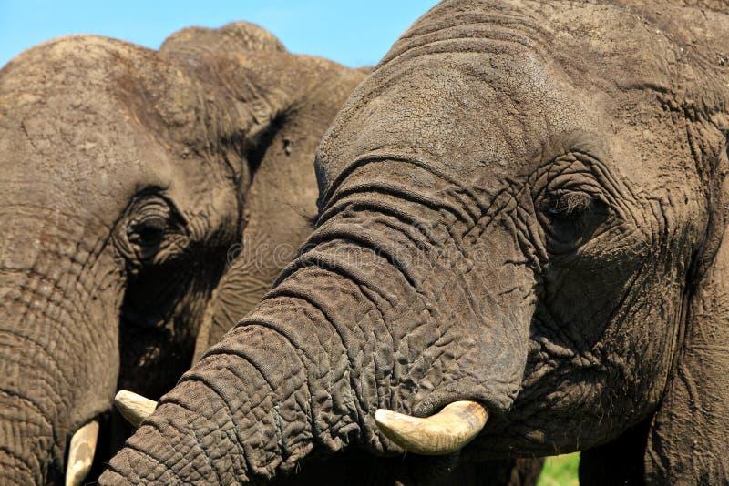 близкие слоны возглавляют вверх стоковое изображение