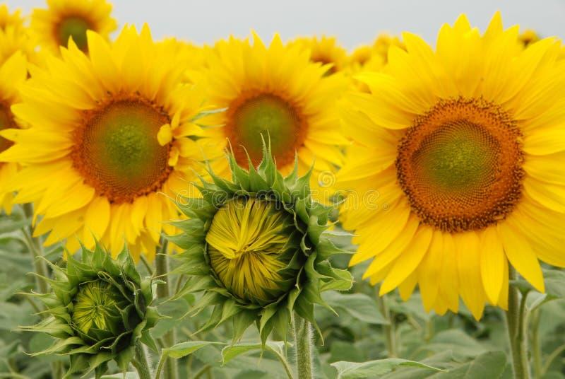 близкие солнцецветы поднимают взгляд стоковые изображения rf