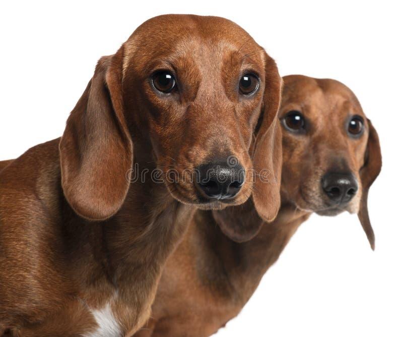 близкие dachshunds вверх стоковые фото