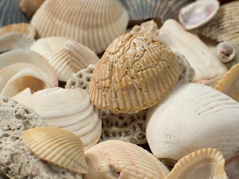 близкие Seashells вверх Стоковое Изображение RF