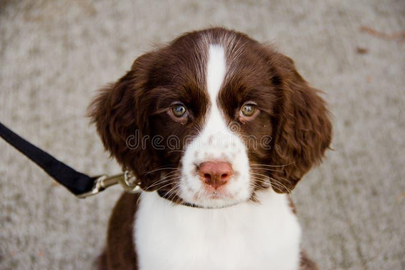 близкий английский Спрингер spaniel щенка вверх по взгляду стоковые фото