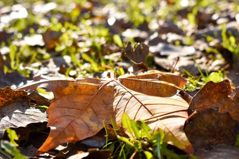 близкий вверх лист сухого клена оранжевых на зеленой траве в сцене дня падения Лист падали на другие сухие листья и стоковая фотография