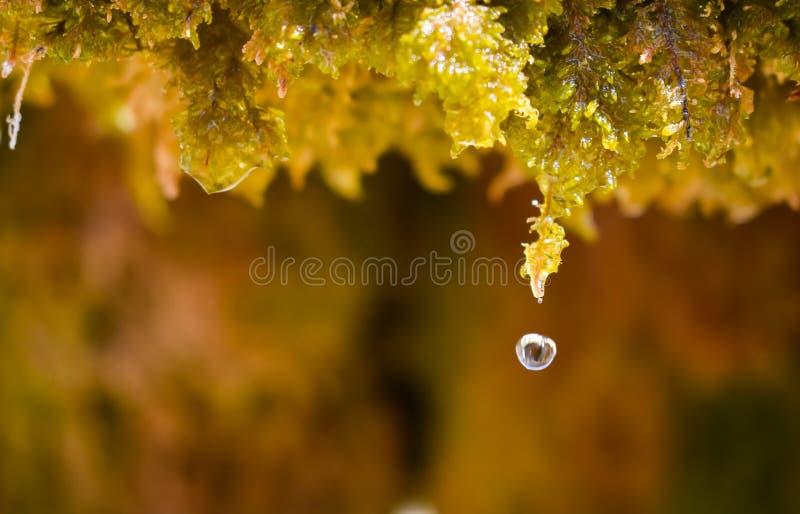 близкий вверх падения воды кристаллического капания воды от влажного зеленого мха и падать к полу в солнечном дне горизонтально стоковые изображения