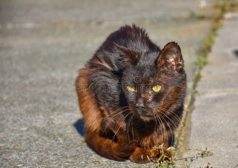 близкий вверх портрета бездомного темного коричневого кота очень тихого на тротуаре в солнечном дне Получившийся отказ кот получа стоковые фотографии rf