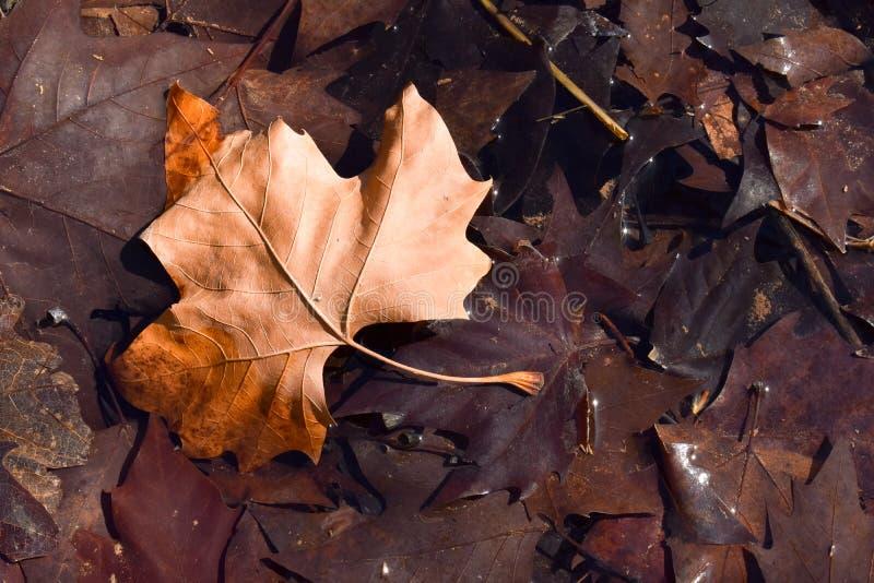 близкий вверх сухих лист коричневого цвета клена на том основании в сцене дня падения Лист на других темных коричневых листьях по стоковая фотография