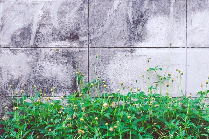 Близкий вверх цветка coatbuttons или маргаритки Tridax под летом стоковое изображение rf