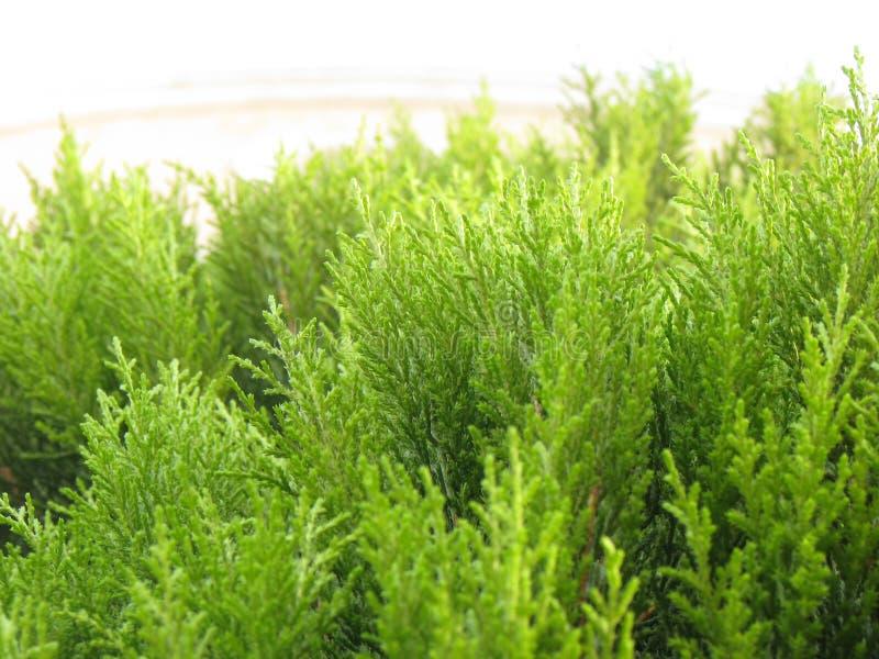 близкий вечнозеленый вал вверх стоковое фото