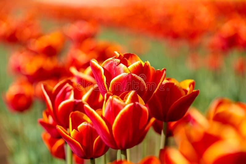 Близкий взгляд красных тюльпанов с оранжевыми и желтыми краями стоковые фото