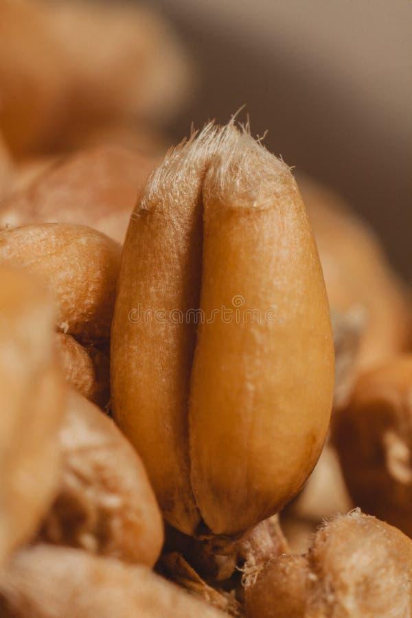Близкий взгляд на зерне пшеницы стоковые изображения rf
