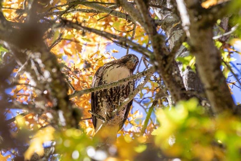 Близкий взгляд на красно-замкнутом ястребе сидя внутри кроны дерева смотря вниз стоковая фотография rf