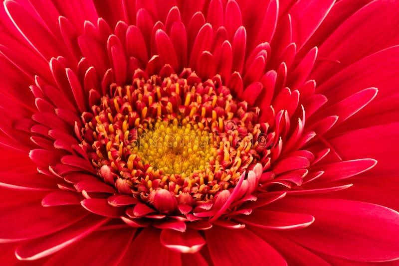 близкий красный цвет цветка вверх стоковое изображение rf