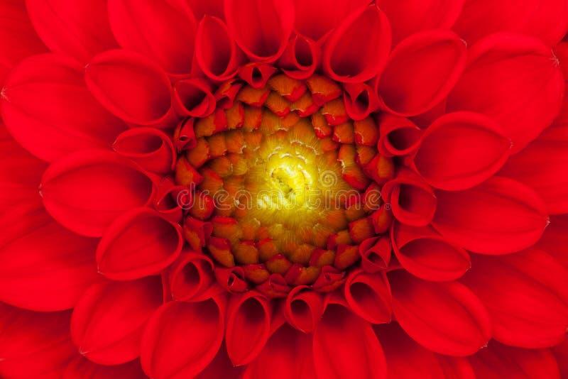 близкий красный цвет цветка георгина вверх стоковая фотография rf