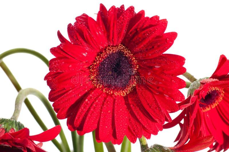 близкий красный цвет gerbera фронта цветка вверх по взгляду стоковые изображения rf