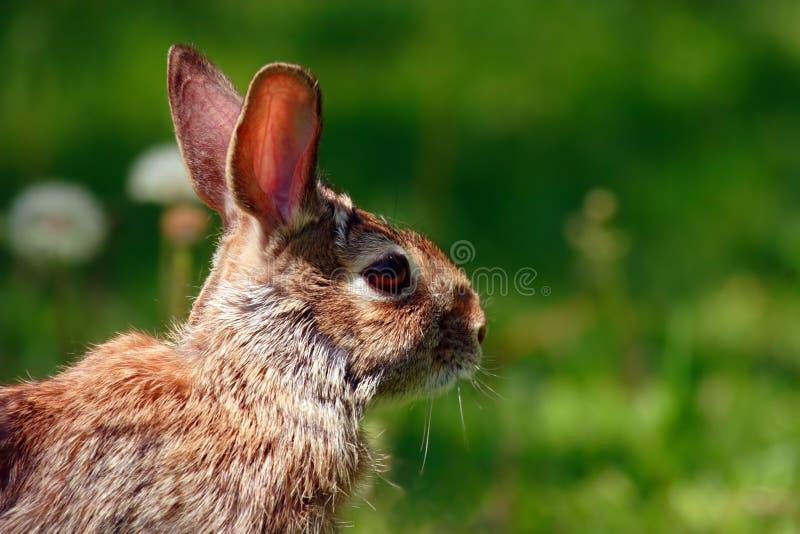 близкий кролик вверх по одичалому стоковая фотография rf