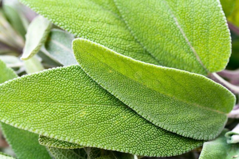 близкий мудрый teucrium съемки scorodonia вверх стоковые фотографии rf