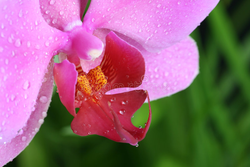 близкий пинк орхидеи цветка вверх стоковые изображения rf