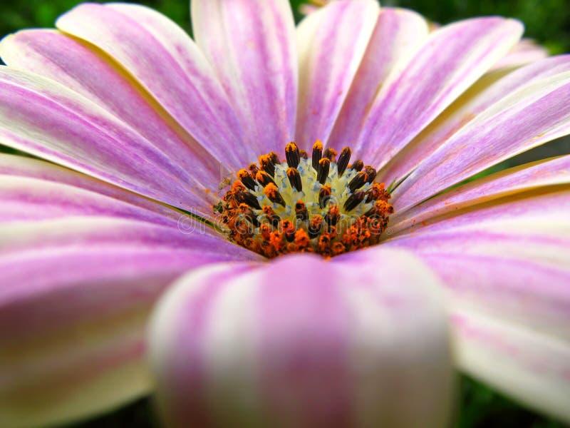 близкий пинк цветка вверх стоковые фотографии rf