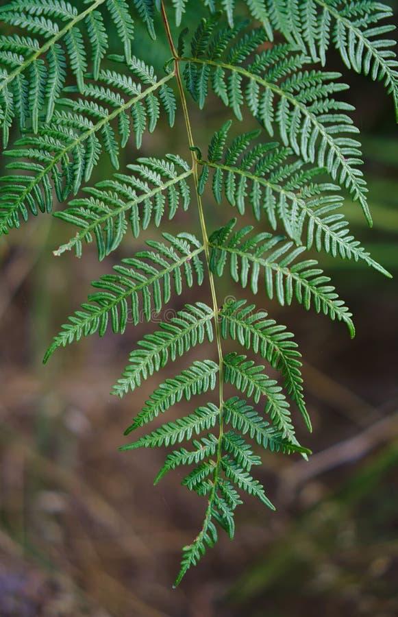Близкий поднимающий вверх взгляд зеленых лист рождественской елки стоковое фото