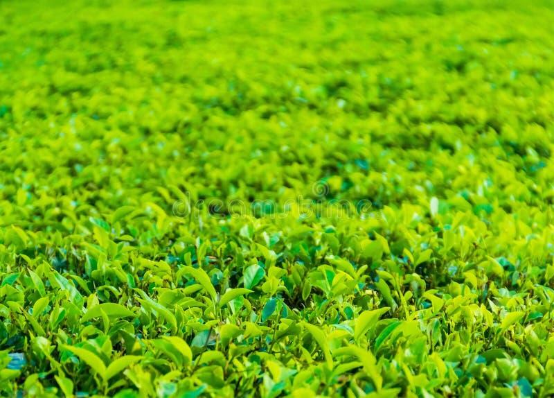 Близкий поднимающий вверх взгляд плантации чая на Darjeeling стоковое изображение rf
