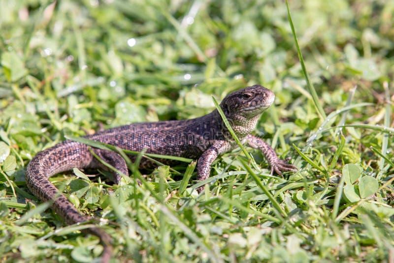 Близкий поднимающий вверх взгляд сер-коричневой ящерицы сада в короткой траве стоковые изображения