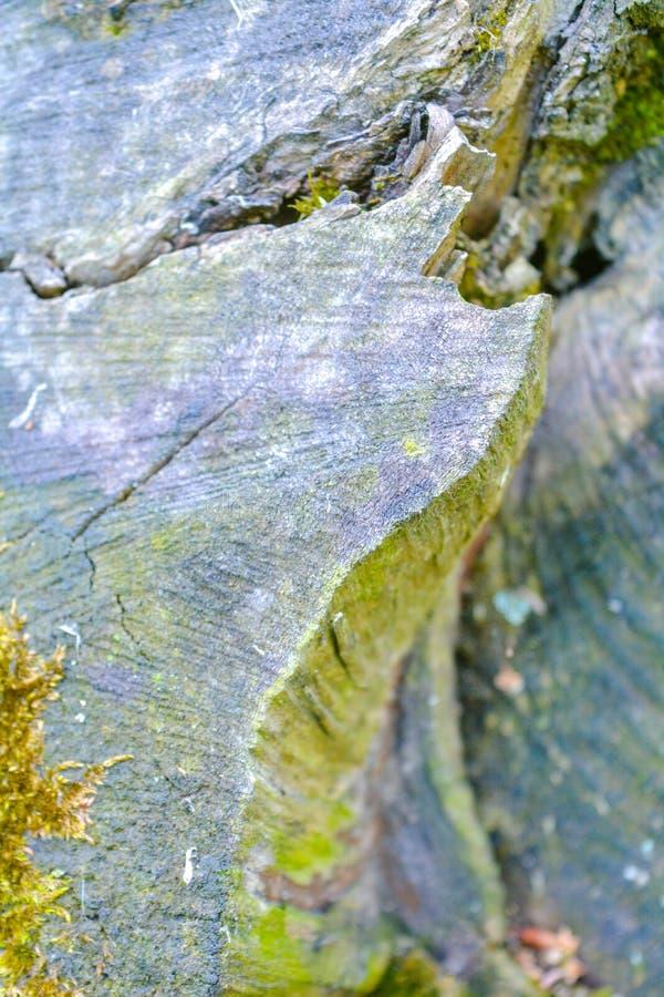 Близкий поднимающий вверх взгляд старого пня покрытый с зеленым мхом в лесе стоковые изображения