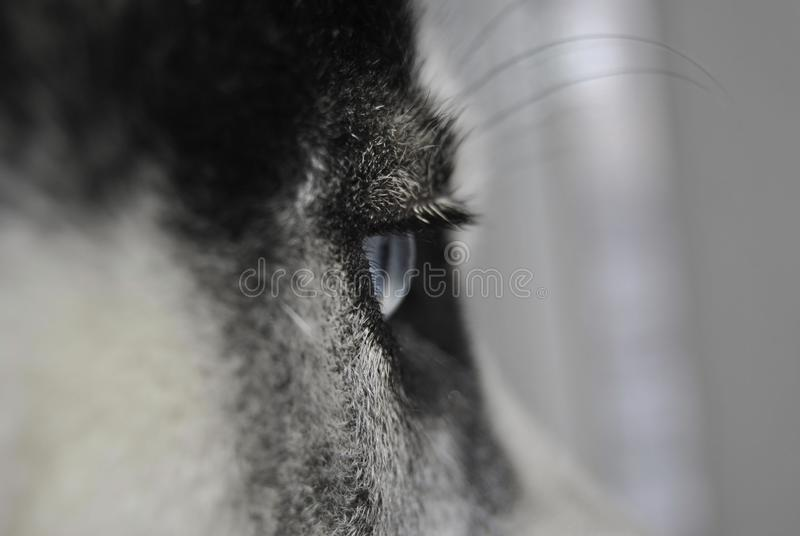 Близкий поднимающий вверх глаз сиплой собаки стоковые фото