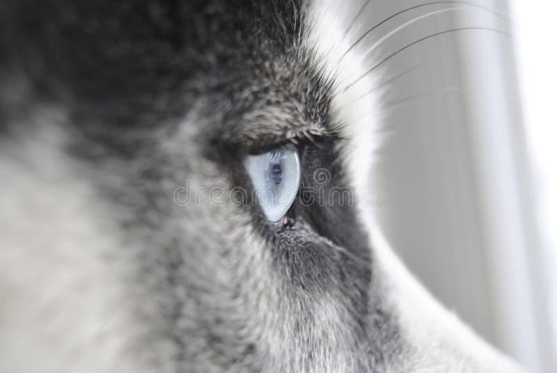 Близкий поднимающий вверх глаз сиплой собаки стоковая фотография rf