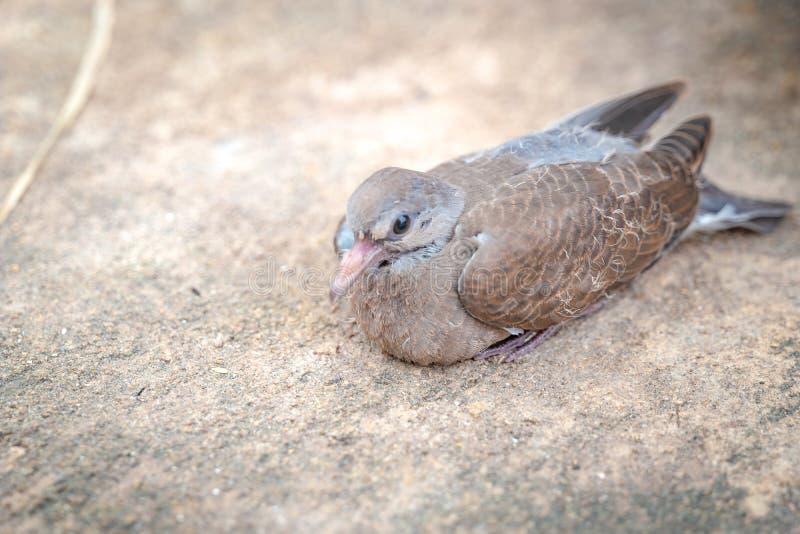 Близкий поднимающий вверх голубь младенца на каменистом грунте все еще сидит в тени дерева стоковое фото
