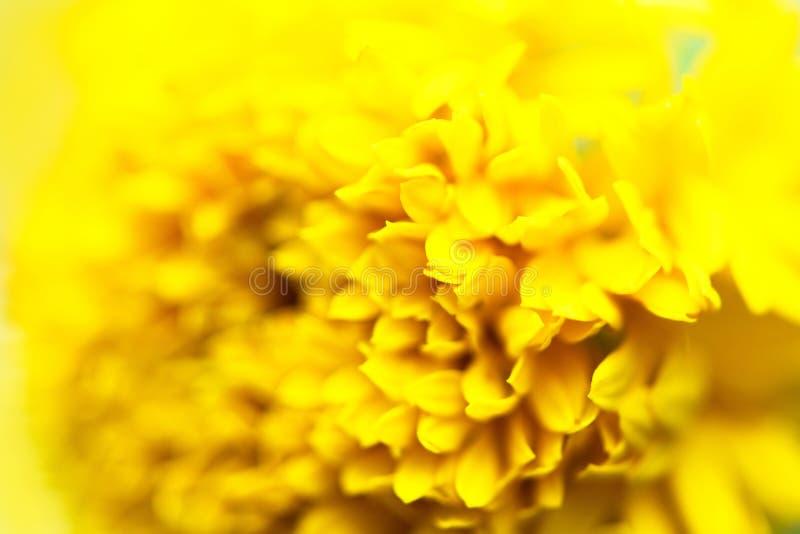 Близкий поднимающий вверх желтый цвет цветка на природе - макросе цветков ноготк текстуры лепестков стоковое изображение rf