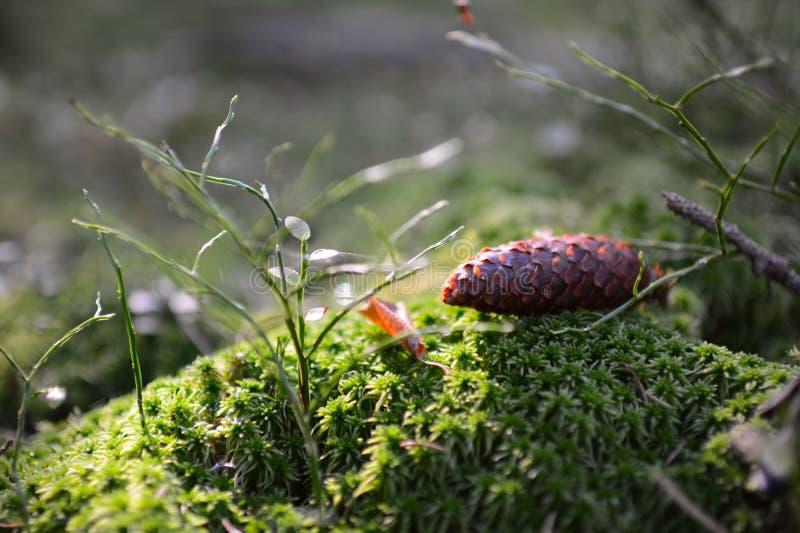 Близкий поднимающий вверх конус ели в лесе лежа на зеленых мхе и траве Идеальная предпосылка, bokeh, космос для текста стоковая фотография rf