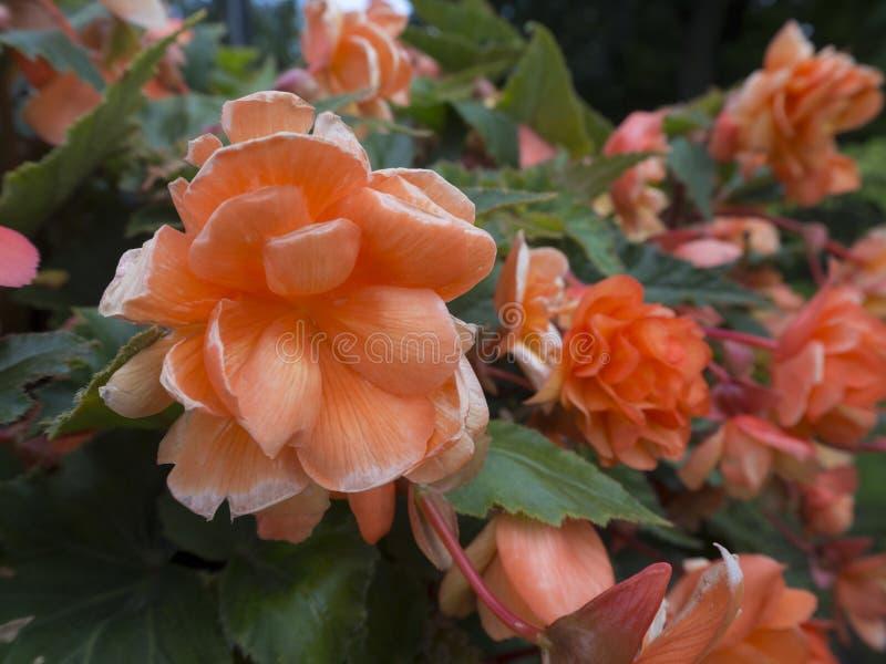Близкий поднимающий вверх куст роз коралла с blured цветками и зелеными листьями на предпосылке стоковая фотография