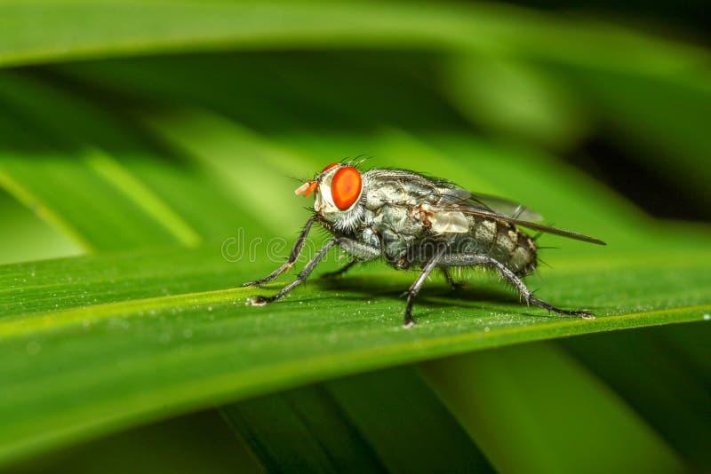 Близкий поднимающий вверх макрос мухы зеленого цвета насекомого на лист в природе стоковое изображение rf