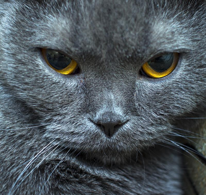 Близкий поднимающий вверх намордник кота с большими желтыми глазами стоковое изображение rf