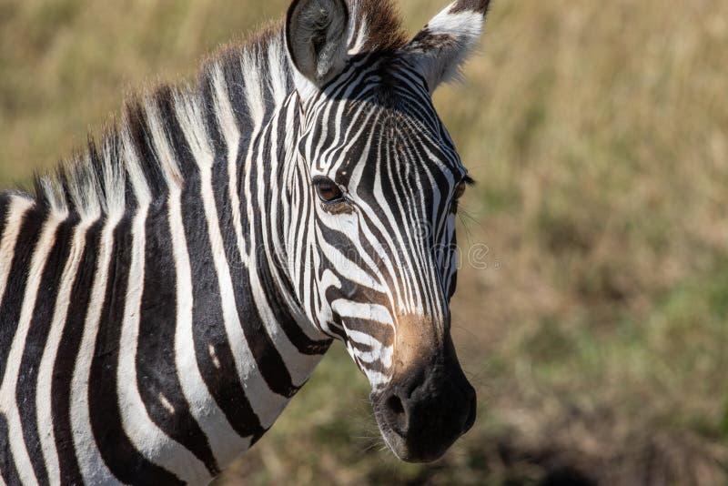 Близкий поднимающий вверх портрет голов и плечи общей зебры, квагги Equus с травой африканской саванны в запачканной предпосылке стоковое изображение rf