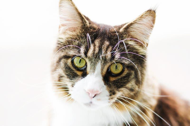 Близкий поднимающий вверх портрет кота енота Мейна изолированного на белой предпосылке стоковые фото