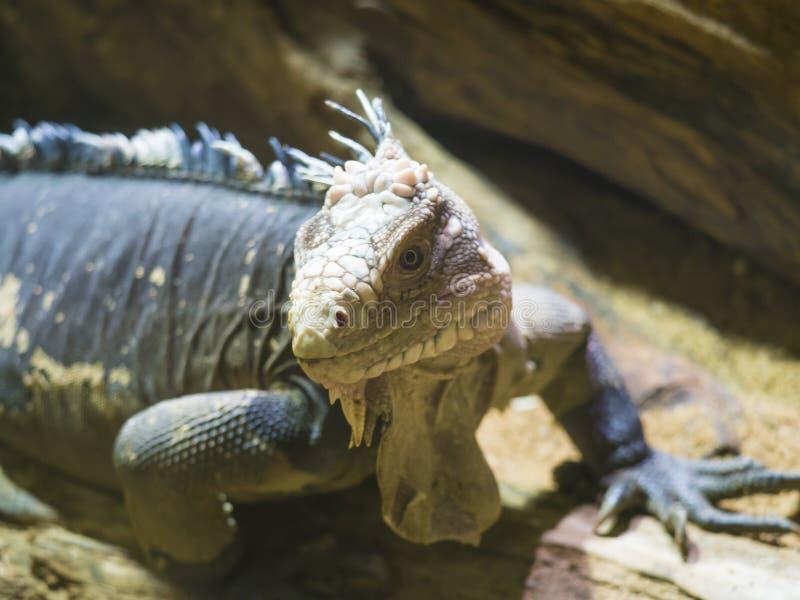 Близкий поднимающий вверх портрет меньшей Antillean игуаны Delicatissima Igauana большая arboreal ящерица эндемичная к меньшим стоковое изображение