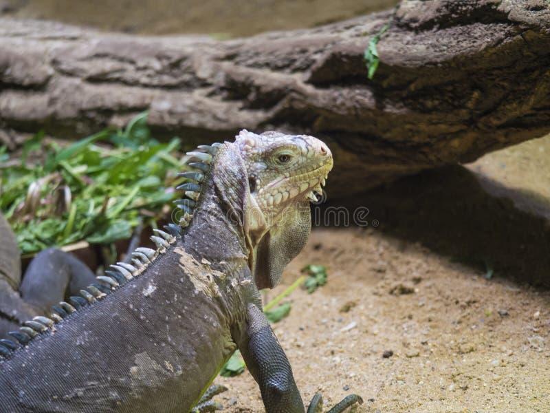 Близкий поднимающий вверх портрет меньшей Antillean игуаны Delicatissima Igauana большая arboreal ящерица эндемичная к меньшим стоковые фотографии rf
