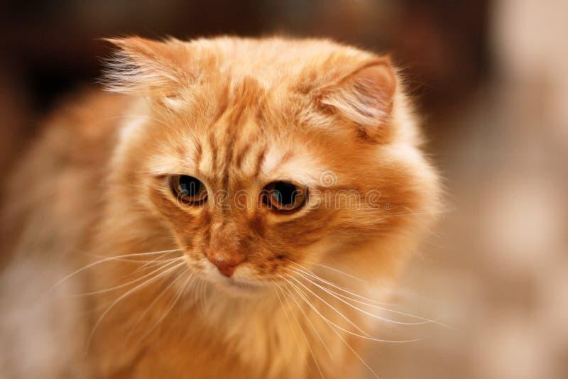 Близкий поднимающий вверх портрет милого длинн-с волосами красного сибирского кота с впечатляющим взглядом Животное в нашем доме стоковая фотография