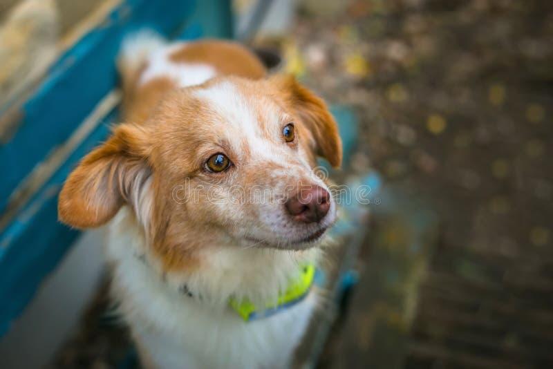 Близкий поднимающий вверх портрет милой смешанной собаки коричневого цвета породы и белых стоковые изображения