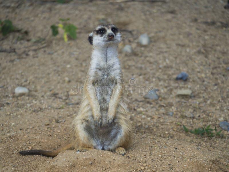 Близкий поднимающий вверх портрет стоя meerkat или suricate, взгляда suricatta Suricata прифронтового, смотря к камере, выборочно стоковое фото