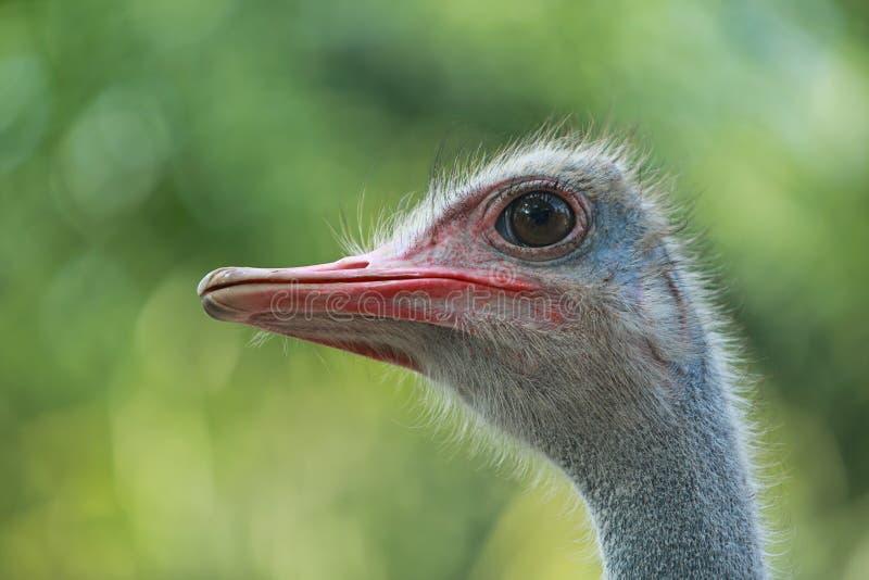Близкий поднимающий вверх страус в природе стоковые фотографии rf